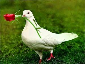 La colomba con una rosa sul becco